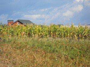 Corn field in Vinnitsa, Ukraine