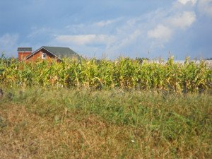 Corn field in Vinnitsa, Ukraine