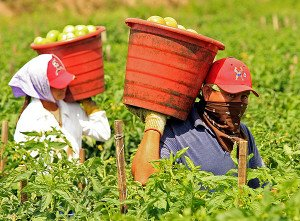 Farmworkers harvesting tomatoes in the fields of Immokalee, Florida in 2006 (Luis M. Alvarez, AP)